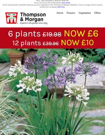 6 agapanthus plants NOW £6!