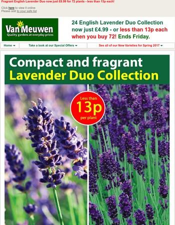 English Lavender less than 13p a plant!