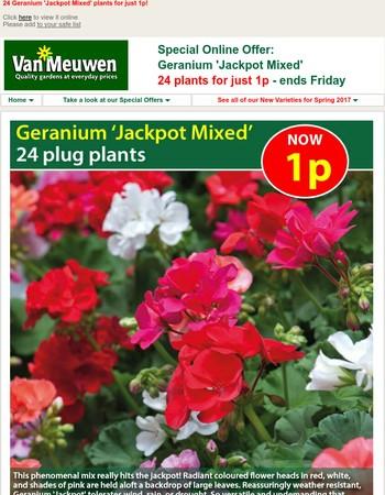 24 geranium plants for just 1p!