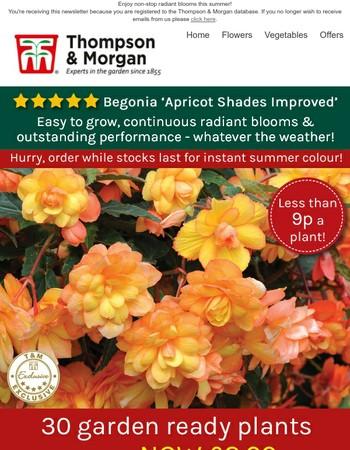 30 garden ready Begonia 'Apricot Shades' NOW £2.99!