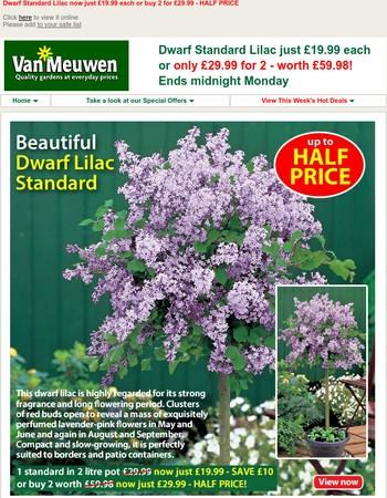 Dwarf Standard Lilac HALF PRICE!