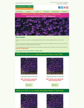 Save up to 33% on our Lobelia Royal Blue Plants in Pots!